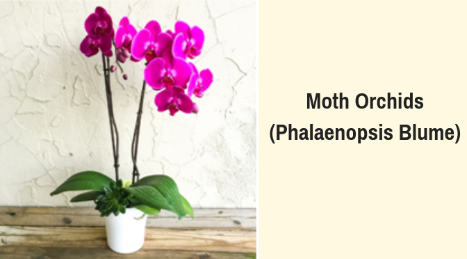 moth-orchids